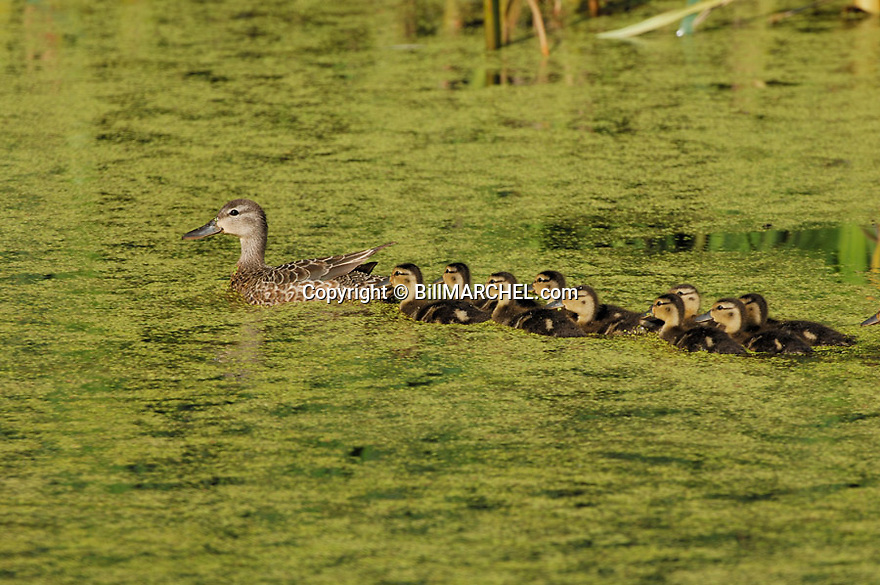 00315-060.03 Blue-winged Teal Duck (DIGITAL) hen and brood of ducklings are on marsh containing duck weed.  Wetland, swamp.  H2L1