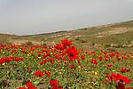 Anemone flowers in Bitronot Ruhama