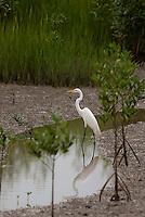 Garças procuram alimento no manguezal da Reserva Extrativista Marinha Mãe Grande no município de Curuçá, nordeste do Pará.  As aves que habitam o mangue alimentam-se  de crustáceos e algumas espécies de peixes. <br /> Curuçá, Pará, Brasil.<br /> Foto: Paulo Santos <br /> 17/05/2009