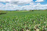 Spring beans- Lincolnshire, June