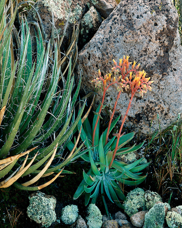 Canyon Dudleya in bloom in the Superstition Mountains; Coronado National Forest, AZ