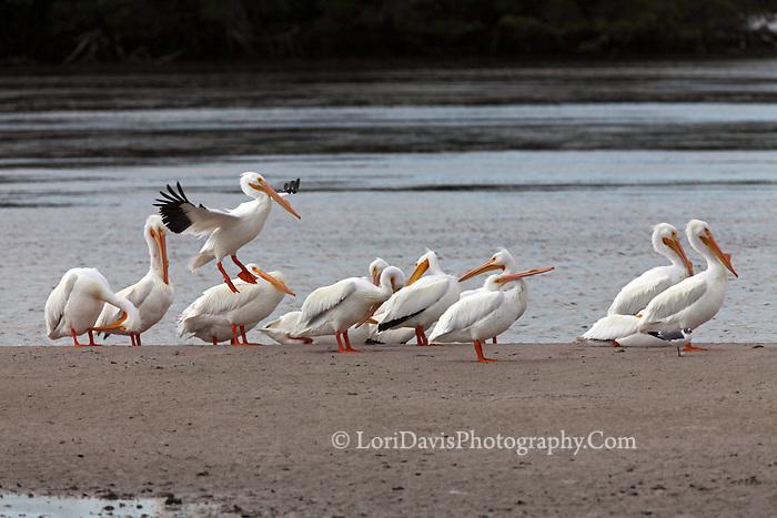 White Pelicans #J24