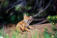 Wild Coyote (Canis latrans) pup scratching.   Western U.S., June.