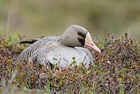 Greater White-fronted Goose (Anser albifrons) incubating nest. Yukon Delta National Wildlife Refuge, Alaska. June.