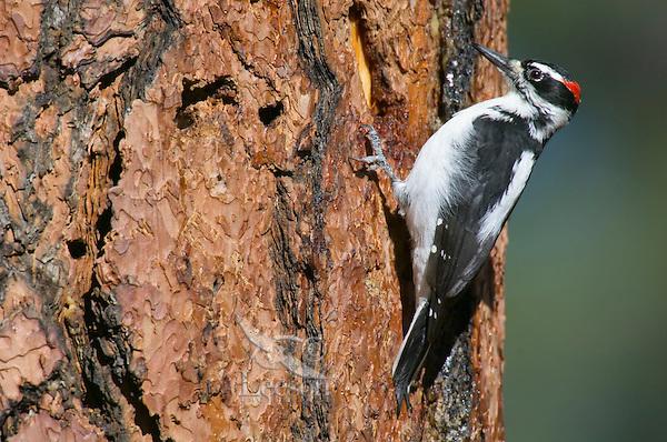 Male Hairy Woodpecker (Picoides villosus) on side of ponderosa pine tree.  Western U.S.