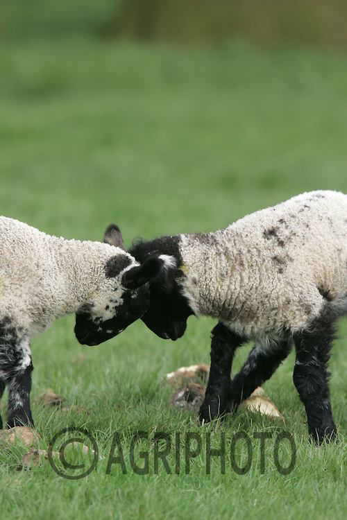 Young Spring Lambs Out at Grass