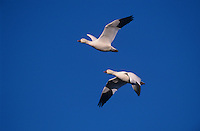 Snow Goose, Chen caerulescens,adults in flight, Bosque del Apache National Wildlife Refuge , New Mexico, USA