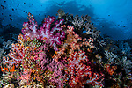 Beautiful Reef with colorful Dendronephthya soft corals, Misool, Indonesia