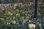 Beargrass wildflowers blooming in Montana's forests