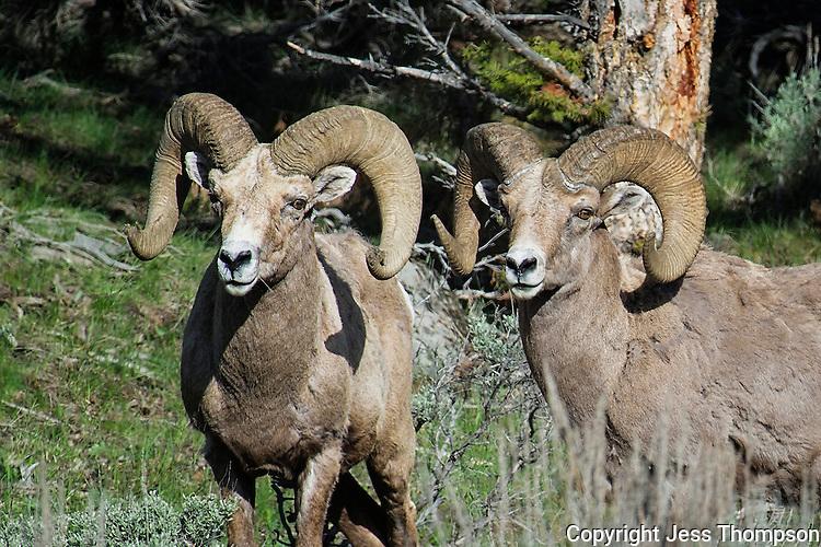 Bighorn Sheep, Yellowstone National Park