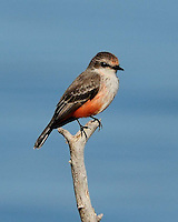 Vermillion Flycatcher, Choke Canyon State Park, TX