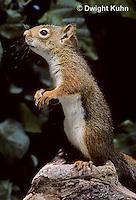 MA07-047z  Red Squirrel - looking around - Tamiasciurus hudsonicus