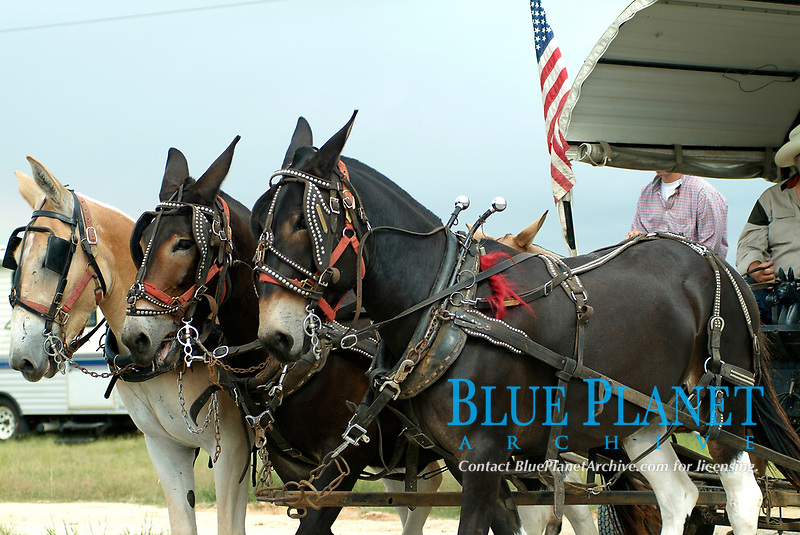 Wagon pulled by three donkeys during the parade of the annual trailride in Bandera, South of Texas, USA, United States. The Great Western Cattle Trail - also known as the Dodge City Trail and the Old Texas Trail was known for cattle drives (including Longhorns) to the markets in the eastern part of the USA. The trail began in Bandera County, Texas and ended in Dodge City, Kansas. The entire trail extended from southern Texas to the Canadian border.(No MR)