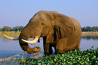 African Elephant bull (Loxodonta africana) feeding in Zambezi River, Mana Pools National Park, Zimbabwe.
