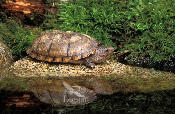 Loggerhead Musk Turtle..Florida..Stemotherus m. minor.