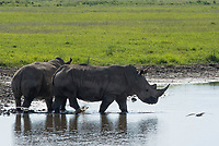 Two Southern White Rhinoceroses, Ceratotherium simum simum, walk through a small pond in Lake Nakuru National Park, Kenya