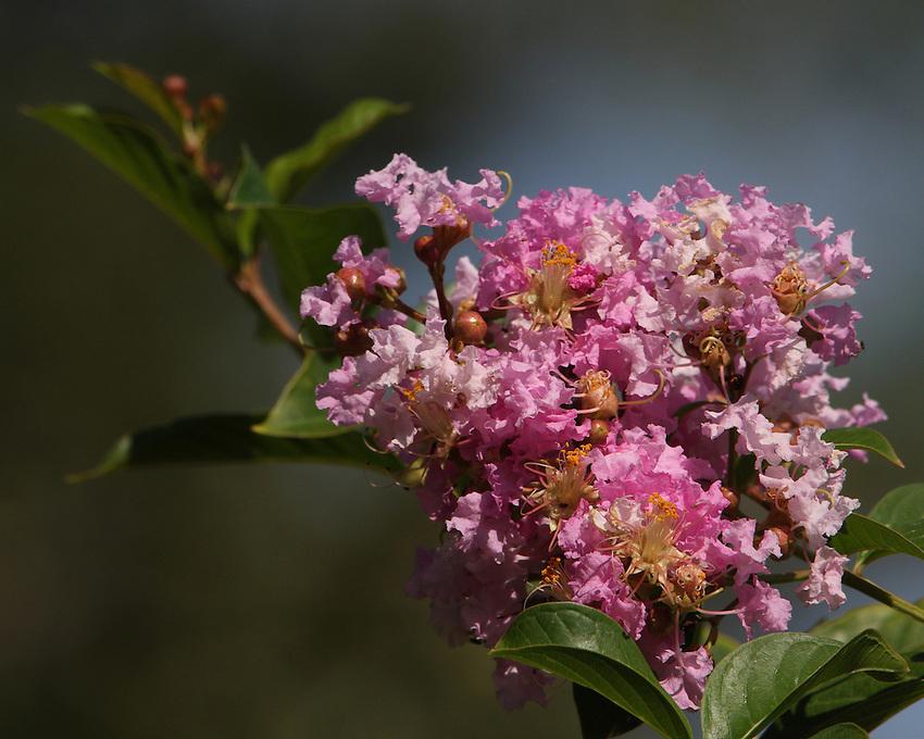 Crepe Myrtle Tree blossoms in September in full sunlight.