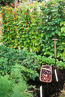 Vegetables in Garden including blue potatoes, red potatoes, new potatoes, scarlet runner beans, garden tool, plant labels, radishes, good black dirt soil, Potato Salad Blue and Salad Red in trug harvested
