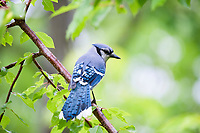 Blue jay, Cyanocitta cristata perched in tree in springtime, Nova Scotia, Canada