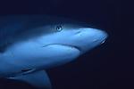 Gray Reef Shark, Carcharhinus perezi