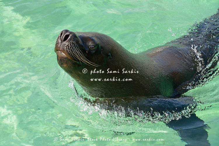 Male sea lion (Zalophus californianus wollebaeki) in ocean, Punta Cana, Dominican Republic