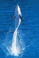 bottlenose dolphin, Tursiops truncatus, adult leaping out of water, Honduras, Caribbean, Atlantic