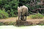 An African elephant  kneeling down to drink