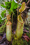 Large pitchers of natural hybrid Pitcher Plant (Nepenthes stenophylla x Nepenthes veitchi). Montane mossy heath forest (kerangas), southern plateau, Maliau Basin, Sabah, Borneo
