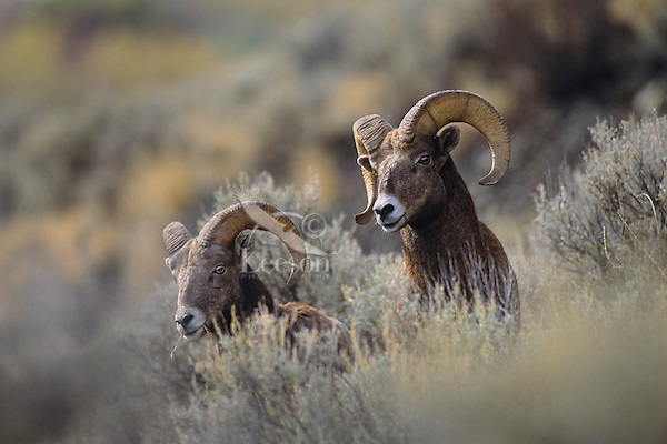 California Bighorn Sheep rams (Ovis canadensis californiana).  Western North America.  October.
