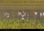 American Avocets in Breeding Plumage, Trout Lake, Yellowstone National Park, Wyoming