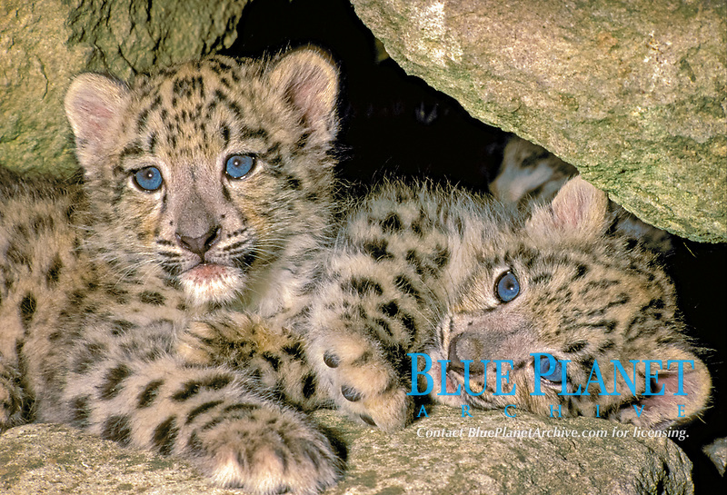 Snow Leopard (Panthera uncia), two 9 weeks old cubs, amongst rocks