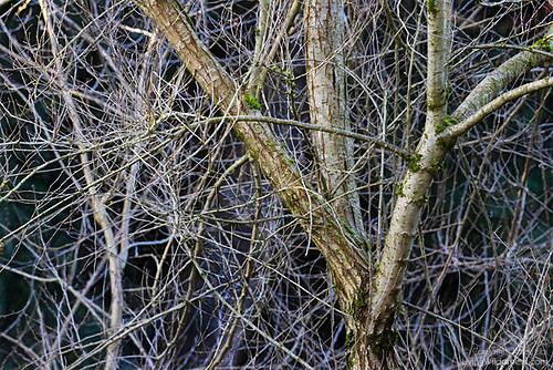 Overgrown Elm