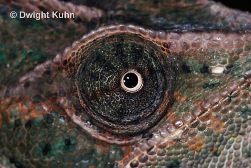 CH51-713z Female Veiled Chameleon, note eye rotation, Chamaeleo calyptratus