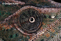 CH51-713z Female Veiled Chameleon, note eye rotation, Chamaeleo calyptratus