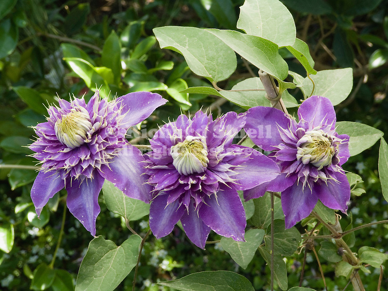 Multi-Blue Clematis flowers