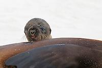 Galapagos Sea Lion (Zalophus wollebaeki), young, Espanola Island, Galapagos, Ecuador, South America