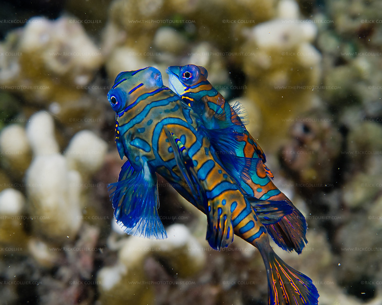 The nightly mating dance of mandarinfish (mandarin dragonet) begins near the rubble bottom, when the female consenting to be approached cheek-to-cheek by the smaller male.  Swimming cheek-to-cheek, the pair circle and rise a few inches, then release and part.  (Photo from the Lembeh Strait, North Sulawesi, Indonesia.)