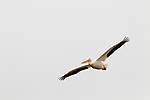 American White Pelican (Pelecanus erythrorhynchos) flying, Elkhorn Slough, Monterey Bay, California
