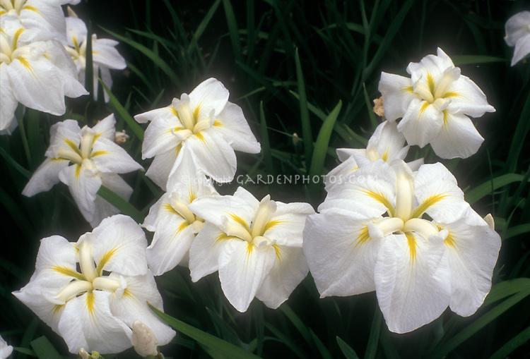 Iris 'Alpine Majesty' ensata irises, white flowered Japanese irises in bloom in spring