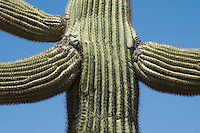 Saguaro, Carnegiea gigantea. Organ Pipe Cactus National Monument, Arizona.