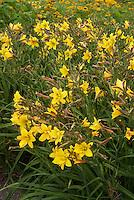Daylily Lemon Bells in yellow flowers