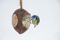 Blaumeise, selbstgemachtes Vogelfutter in einer Kokosnuss, Kokosnuß, Vogelfütterung, Fütterung, Fettfuttermischung, Fettfutter, Winterfütterung, Winter, Schnee, Meise, Meisen, bird's feeding, snow, Blau-Meise, Cyanistes caeruleus, Parus caeruleus, blue tit, La Mésange bleue