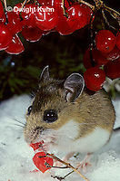 MU50-135z  White-Footed Mouse - eating berries -  Peromyscus leucopus
