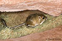 1114-0801  Merriam's Kangaroo Rat Underground in Burrow, Dipodomys merriami © David Kuhn/Dwight Kuhn Photography