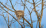 Bird's nest in a burr oak tree