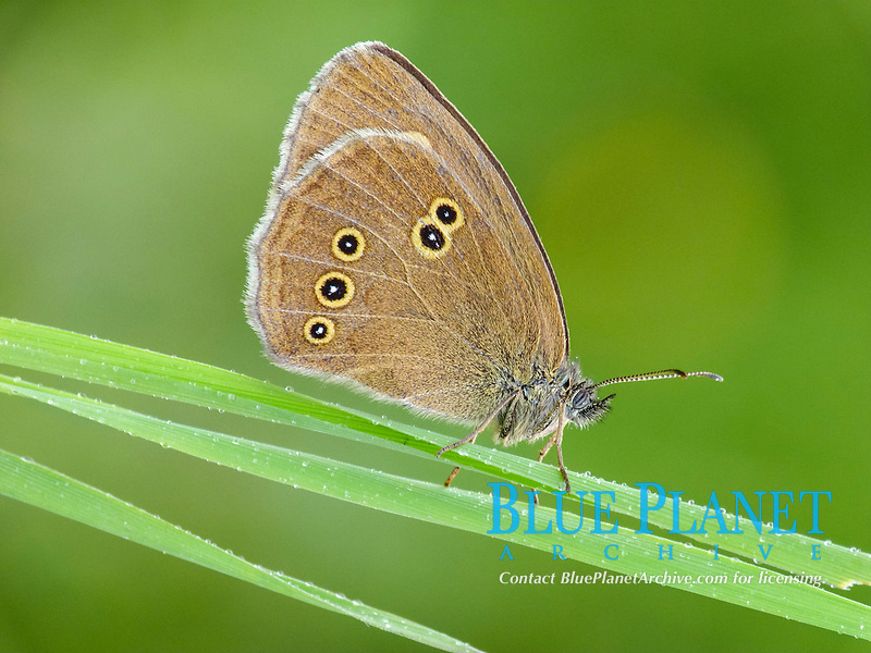 Ringlet (Aphantopus hyperantus), adult male, resting on grass in meadow, in early morning rainfall, France, Europe