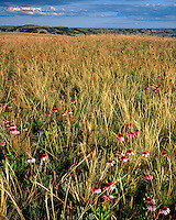Prairie Coneflowers (Ratibida columnifera) in bloom on grasslands; Theodore Roosevelt National Park; ND