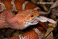 1R22-648z  Corn Snake, Banded Corn Snake, Elaphe guttata guttata or Pantherophis guttata guttata, catching and eating mouse