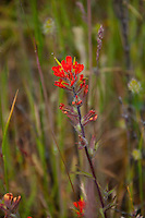 Hairy Paintbrush (Castilleja hispida), Yellow Island, San Juan Islands, Washington, US