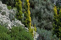 lower left corner Veronica (Hebe) odora 'New Zealand Gold', left center white flowers- Oleria x haastii, center gold evergreen- Taxus baccata 'Standishii', Grey shrub in background- Corokia x virgata 'Bronze King' in Elisabeth Miller Botanical Garden